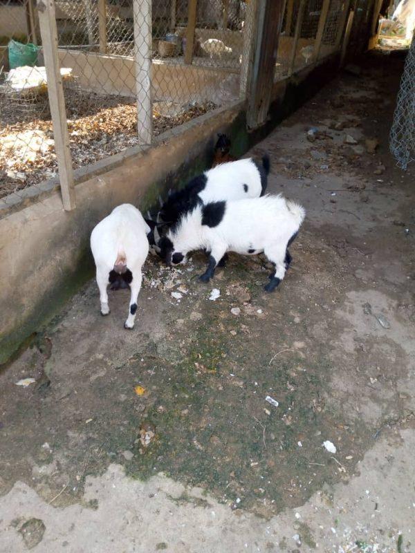 Piggery Farm In Orumba North, Anambra, Nigeria