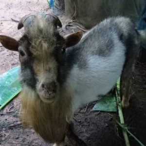 Buy Best Goat In Orumba South Anambra