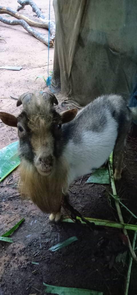 Buy Best Goat In Orumba South Anambra
